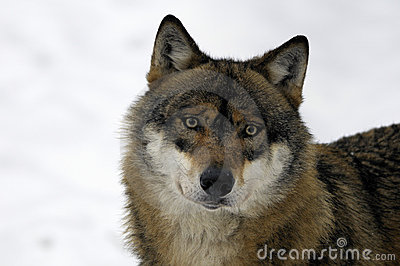 Young Brown And White Wolf Stock Photos Image 7854773
