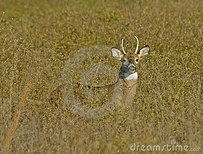 Young Buck in Tall Grass
