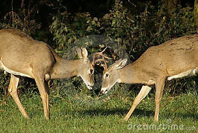 Young Bucks In Rut Stock Image - Image: 11666481