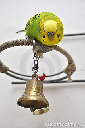 Young budgerigar