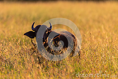 Young Buffalo Sunrise Long Grass