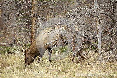 Young Bull Elk Feeding
