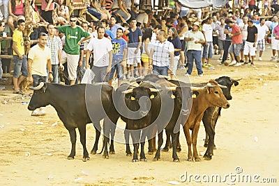 Young bulls Editorial Photo