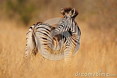 Young Burchell s Zebras (Equus burchellii)