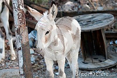 Young burro