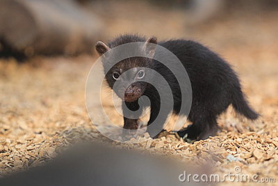 Young bush dog
