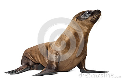 Young California Sea Lion