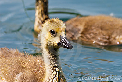 Young Canada Goose