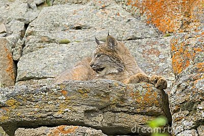 Young Canadian Lynx