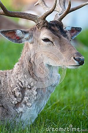 Young captive male Fallow Deer (lat. dama dama)