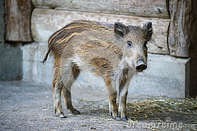 Young captive wild boar