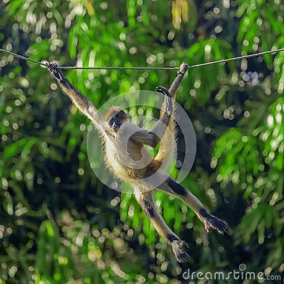 Free Young Capuchin Monkey Swinging On A Rope Royalty Free Stock Images - 134186029