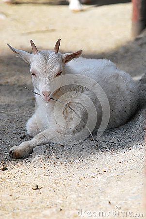 Young cashmere goat