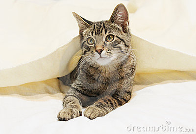 Young cat under blanket