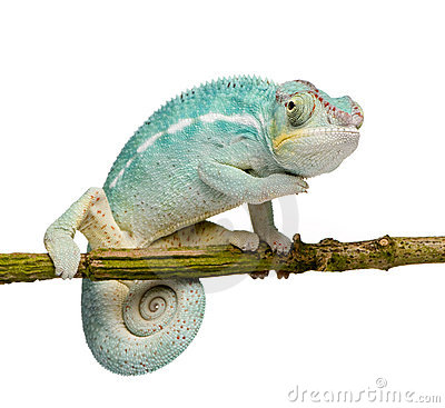 Free Young Chameleon Furcifer Pardalis - Nosy Be Royalty Free Stock Photo - 5355105