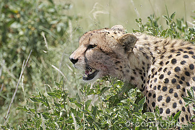 A young Cheetah (Acinonyx jubatus)