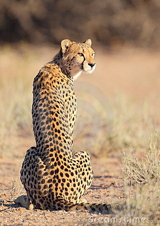 Free Young Cheetah Sitting In The Sun Stock Photography - 17639142