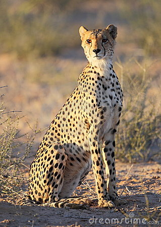 Free Young Cheetah Spotted Cat Stock Photos - 17639153