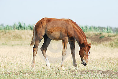 Young chestnut foal