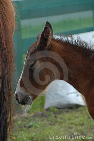 Young chestnut foal foal with white whiskers