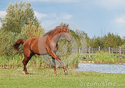 A young chestnut horse galloping