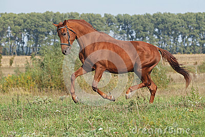 A young chestnut stallion galloping