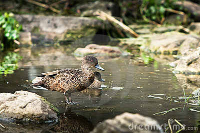 Young Chestnut Teal duck in pond