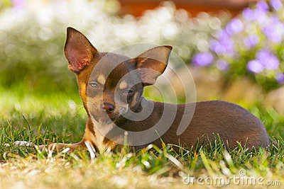 Young chihuahua