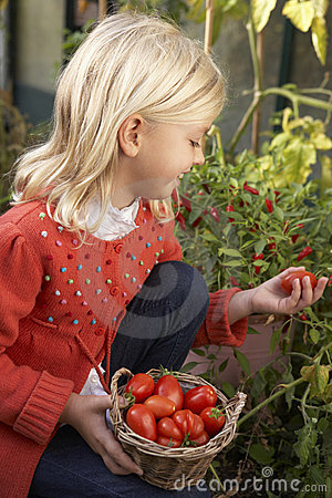 Young child harvesting tomatoes
