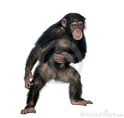 Free Young Chimpanzee Against White Background Stock Photography - 11290482
