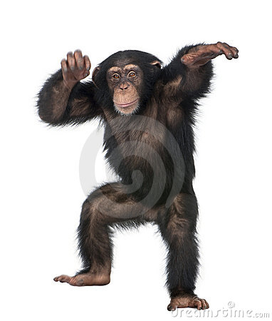 Free Young Chimpanzee Dancing Royalty Free Stock Image - 9772856