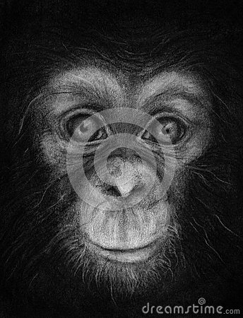 Young Chimpanzee Face Sketch
