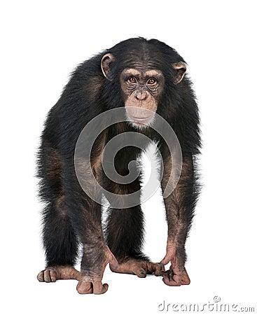 Young Chimpanzee looking at the camera - Simia tro
