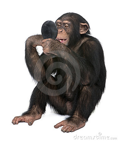 Young Chimpanzee looking himself at the mirror - S