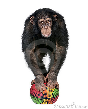Young Chimpanzee playing with a ballon