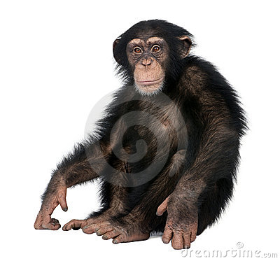 Free Young Chimpanzee - Simia Troglodytes (5 Years Old) Stock Images - 9772824
