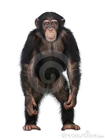 Free Young Chimpanzee Standing Up Like A Human - Simia Royalty Free Stock Image - 9333126