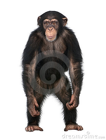 Free Young Chimpanzee Standing Up Like A Human - Simia Royalty Free Stock Images - 9333129