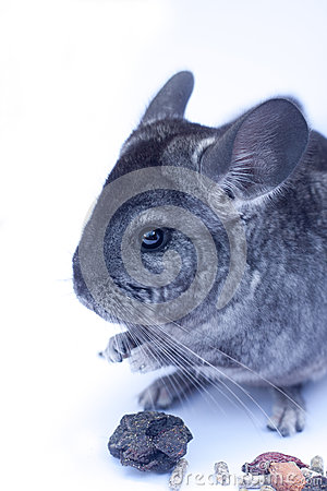 Young Chinchilla  on white