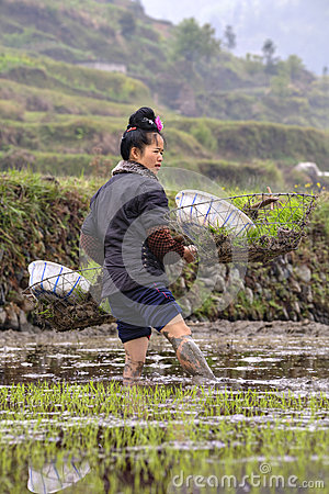 Young Chinese woman farmer standing knee-deep in mud, rice field Editorial Stock Photo