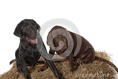 Young Chocolate Black Labrador Retriever puppies