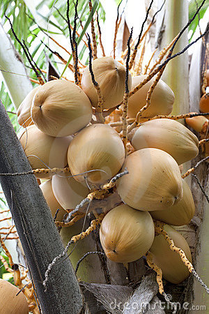Young coconuts in a tree