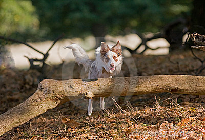 Young Collie jumping over a log
