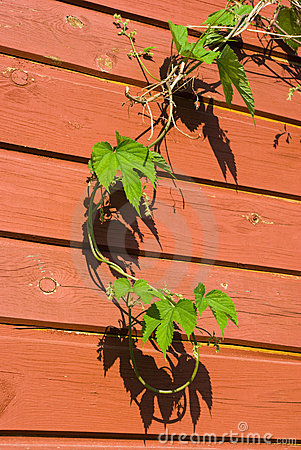 Young Common Hop plant