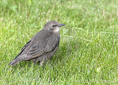 Young common starling