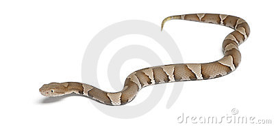 Young Copperhead snake or highland moccasin