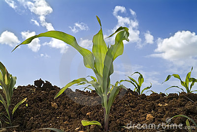 Young corn plants field