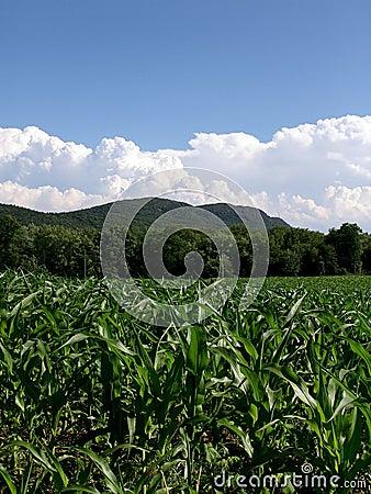 Young Corn Plants Massachusetts