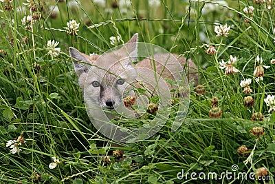 Young corsac fox