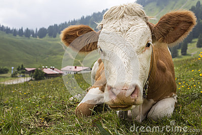 Young cow on an alpine meadow